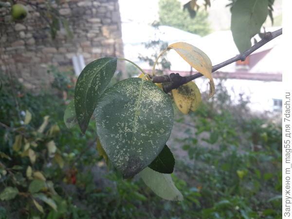 Вредители на листьях яблонь и груш
