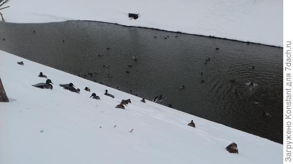 Казань-2018, утки зимуют в центре на протоке Булак