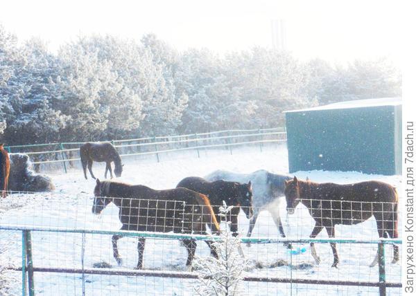 Лошади на зимнем выгуле