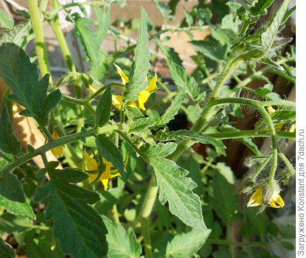 Долгожданное обильное цветение томата Грифон