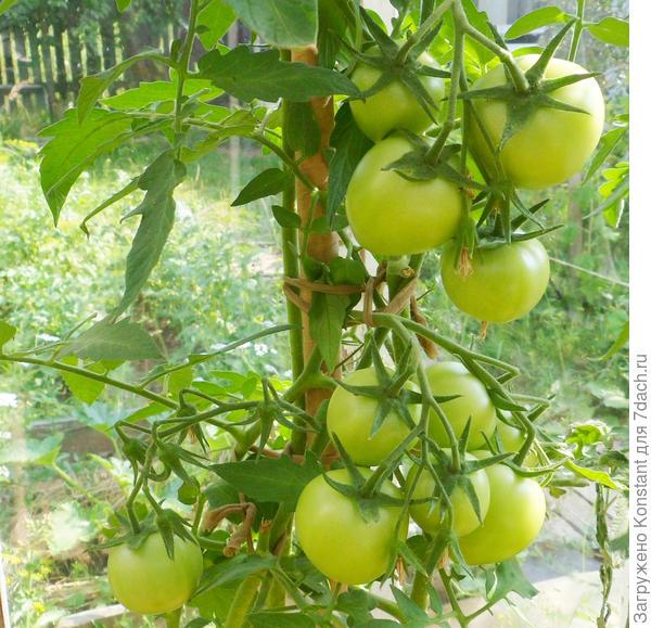 21 июля. Появились первые бурые плоды