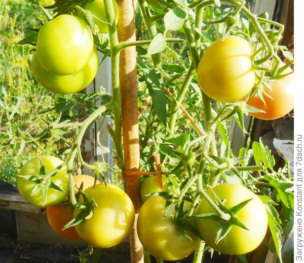 18 августа. Созревание плодов ускоряется. если кисти развернуть (вывернуть) к солнцу.