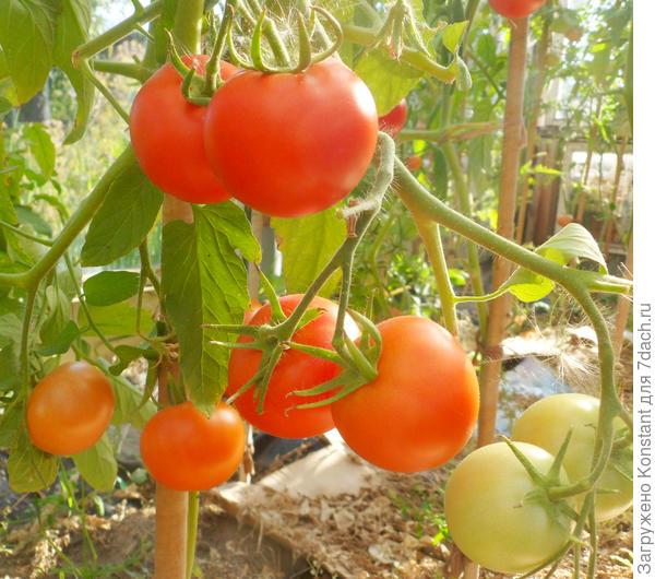 18 августа. Созревающие плоды томата Хали Гали в теплице.