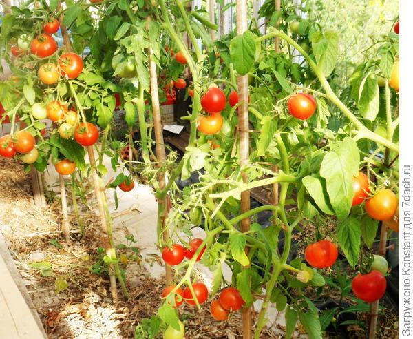 25 августа. Так выглядит теплица с помидорами.