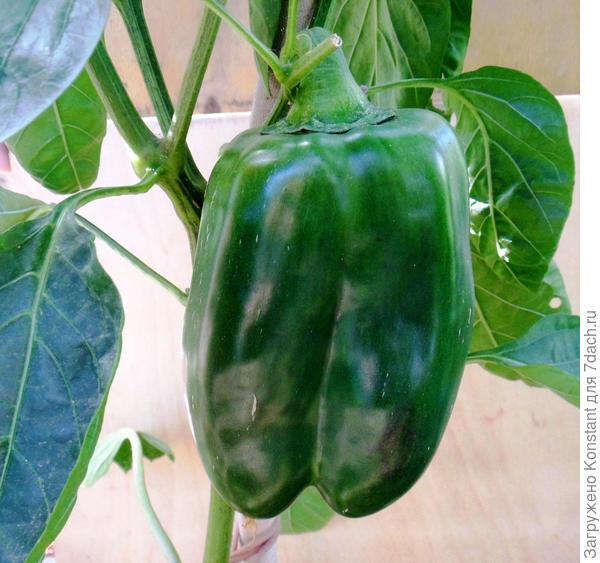 Окраска плодов в стадии технической зрелости темно-зеленая, кожица блестящая.
