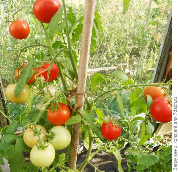 18 августа. На кусте хорошо видны плоды трех степеней созревания: красные, бурые и побелевшие. Куст мощный, высотой около 150 см.