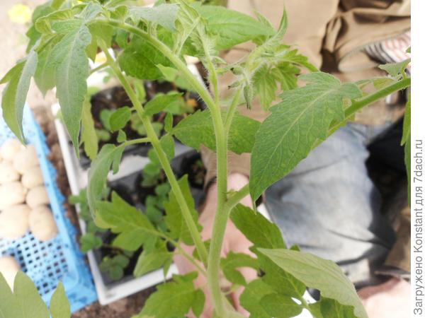 8 мая. Рассада томата перед высадкой в теплицу. Высота растения 50-55 см.