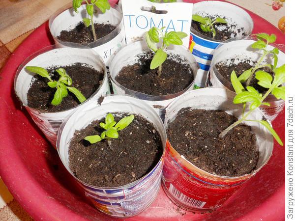 22 марта. Пикировка рассады томата Хали-Гали. Для выращивания оставил 10 штук (понравилась форма томата «с носиком»).