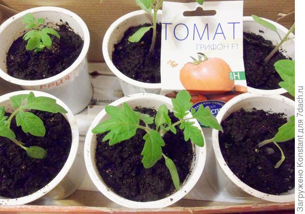 20 марта. Пикировка томата Грифон в отдельные пластиковые стаканчики