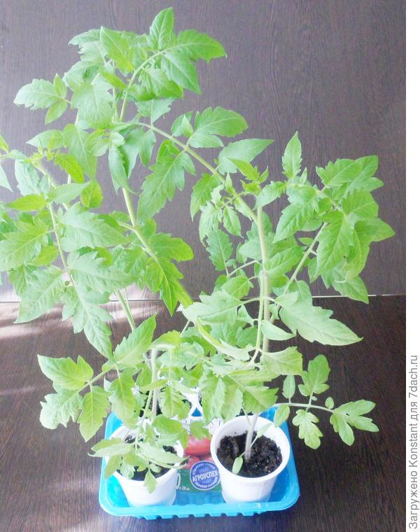 20 апреля. Рассада томата Грифон. Высота растений около 40 см.