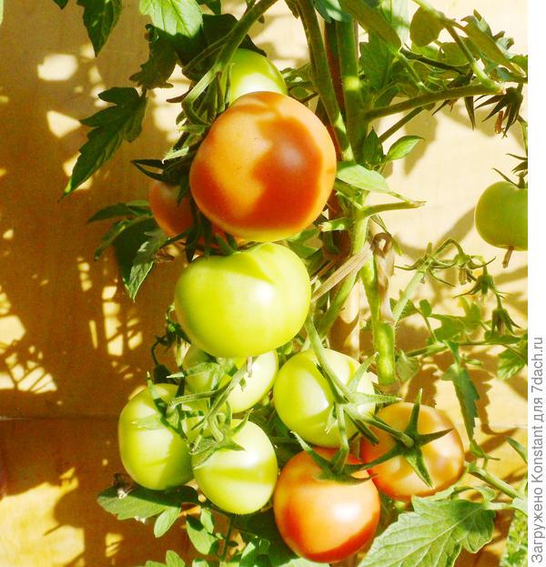 18 августа. Созревание плодов ускоряется, если кисти развернуть (вывернуть) к солнцу.