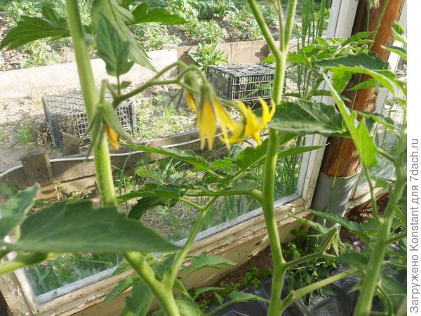 А лето началось только 16 июня с резкого потепления до 25 градусов и выше. Началось обильное цветение томатов.