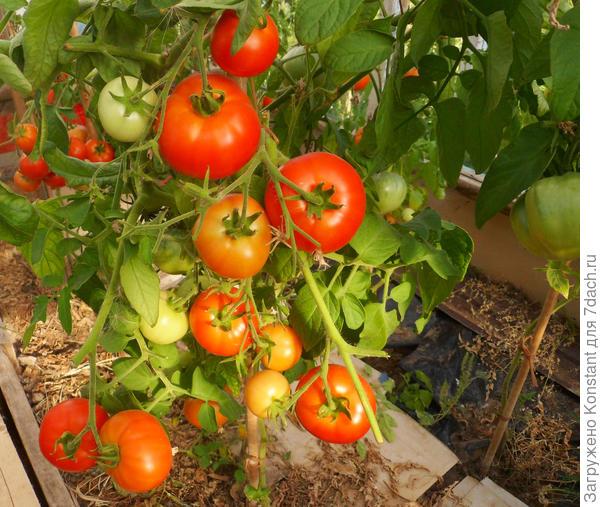 18 августа. Созревающие плоды томата Хали — Гали F1 в теплице. Куст томата мощный, штамбовый, высотой не более 1 метра.