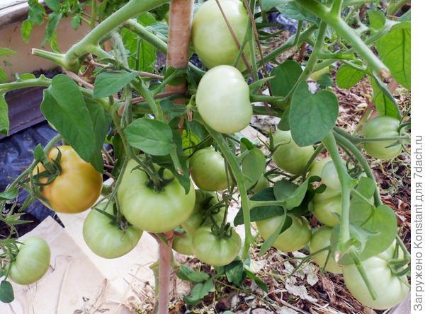 1 июля. Первые кисти с плодами