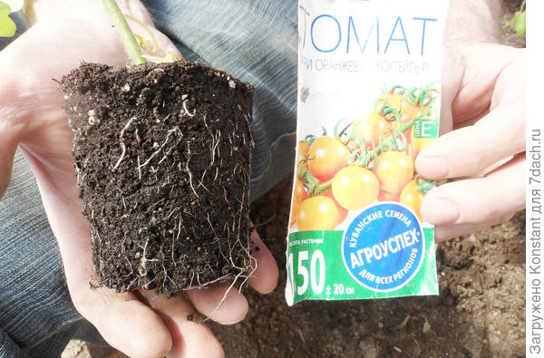 Корневая система томата Оранжевый коктейль хорошо развита.