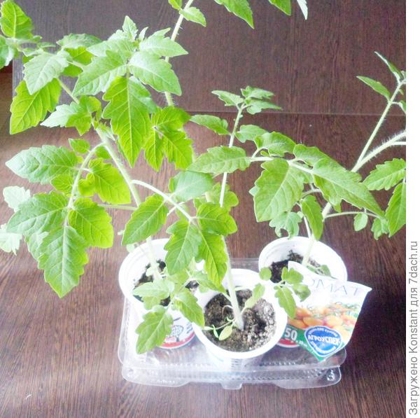 23 апреля. Рассада растет очень быстро, сказывается высокорослость сорта. Высота растения около 45 см.