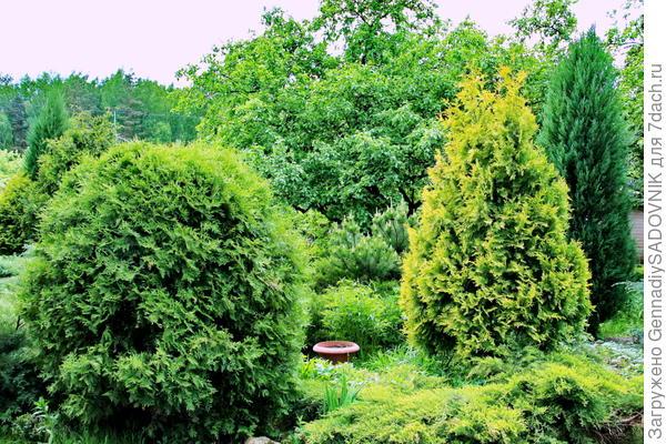 Фрагмент хвойного сада. Подмосковье.