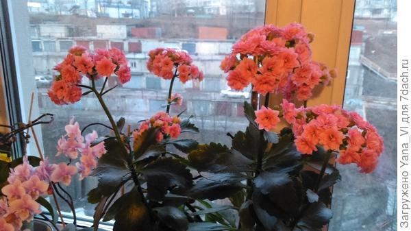 каланхоэ и орхидея