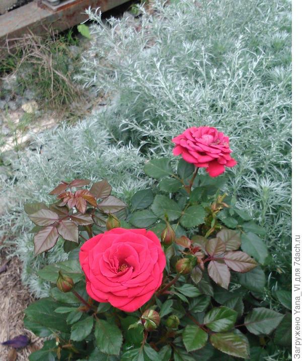 Красные розы на фоне серебристой полыни