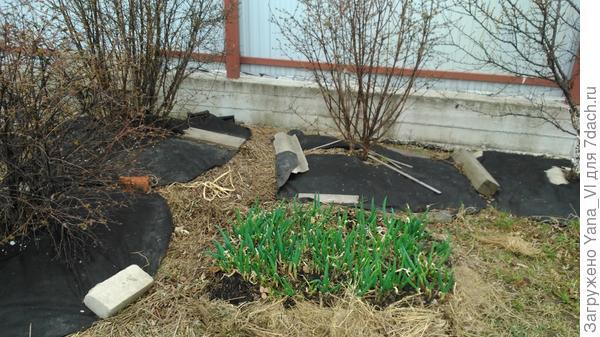 Снято 19 апреля. Рядом кусты жимолости, ещё голые. А лук уже можно есть!