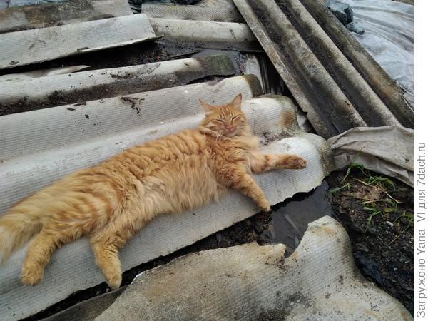 Котя утомился помогать хозяйке помидоры измерять, отдыхает :)