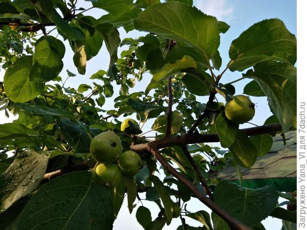 Яблочки наливаются