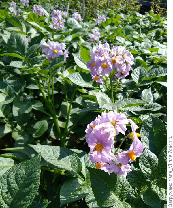 Картошка тут же решила изобразить из себя цветочную поляну :)