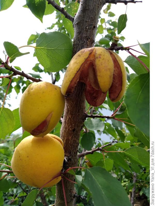 Плоды растрескались