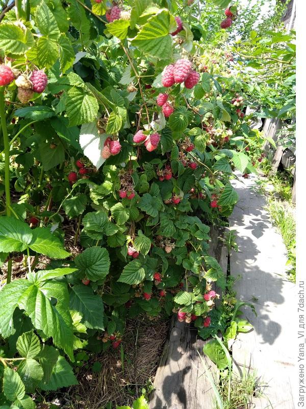 Кусты малины в предыдущие выходные