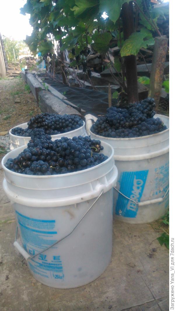 """Мой """"виноградик"""" и урожай с него :)"""