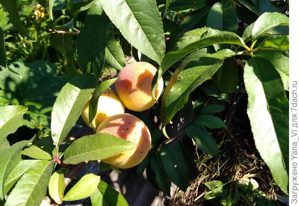 Персики начинают созревать