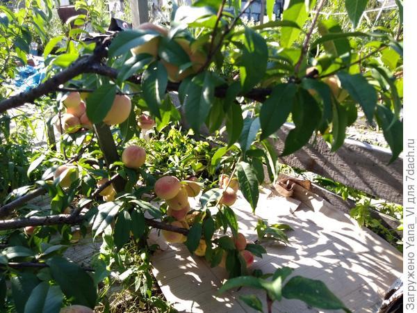 снова персики