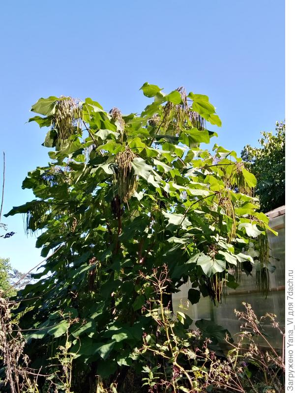 """И я таки нашла катальпу! Растёт у нас """"макаронное дерево"""". Пусть и в ботаническом саду."""