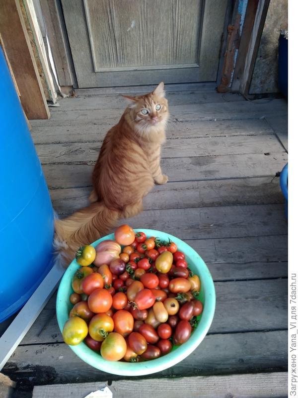 одна из еженедельных порций помидоров