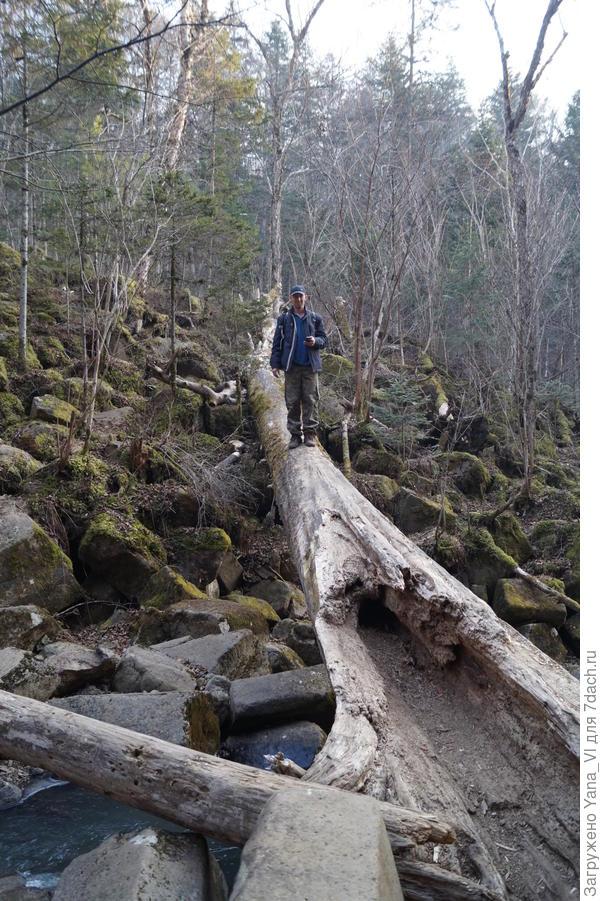 Мостик на другой берег из тела упавшего лесного исполина...