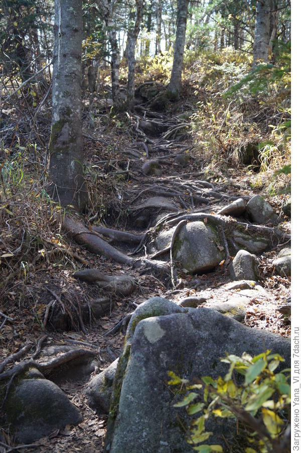 """Немного выше подъём становиться чуть более пологим. Верёвки исчезли. Зато посмотрите, как живописно """"оформлена"""" тропа корнями деревьев."""