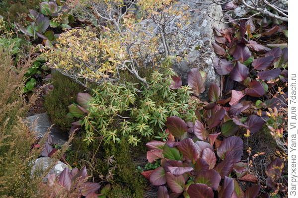 Похоже что-то из рододендронов... а эти большие листья мы в детстве называли заячьей капустой