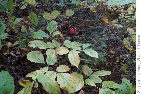По пути встретить ещё парочку странных растений. Этот с красными ягодами...