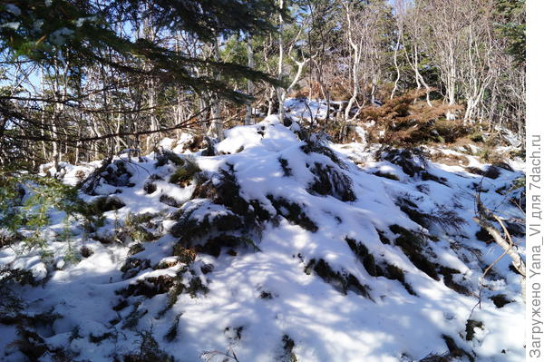 Можжевельник снегом усыпан