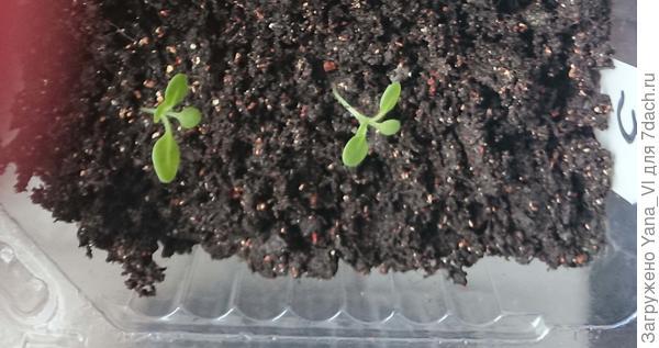 ростки в грунте