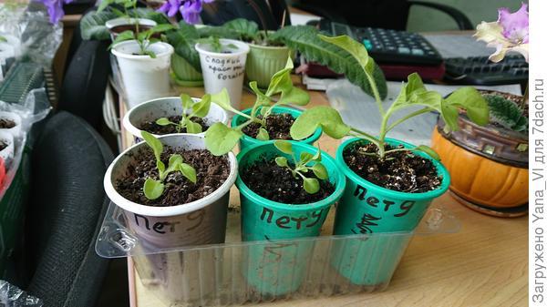 Растения 11 апреля. Видно, что развиты неравномерно.