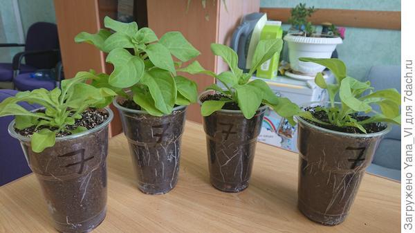 Растения 28 апреля. Произведена перевалка в более крупную тару.