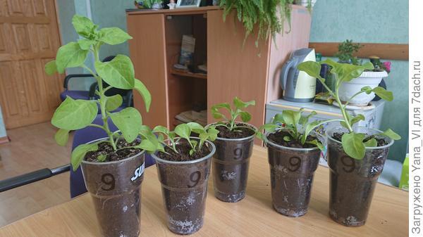 Растения 28 апреля. По краям два самых развитых.