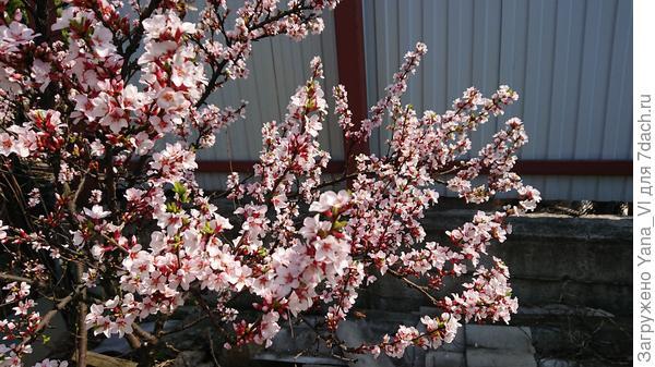 Вот войлочной вишне любая зима нипочём! Неубиваемое растение :)
