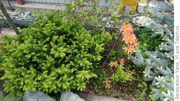 Зелёный шарик слева от рододендрона - тис, справа торчат ветки голубой ёлки