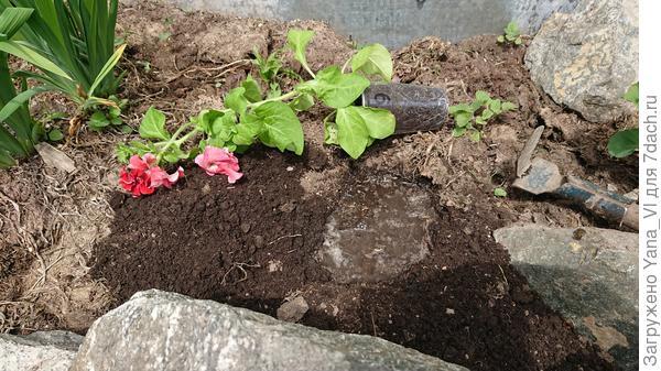 Ямка выкопана, растение готово к посадке. Видно, как сильно оно вытянулось.