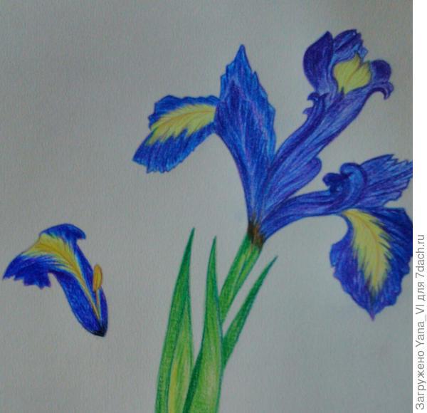 У нас мокро, холодно, всё гниёт и не растёт, даже цветы. Поэтому прости, но только нарисованный могу подарить...