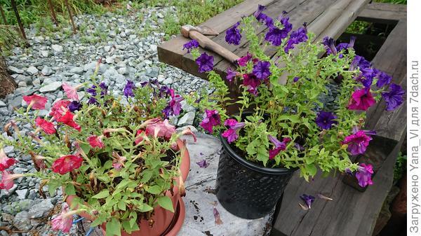 Они же 5 августа (правый вазон). Кустики разрослись сильнее, но всё так же плохо переносят бесконечный дождь.