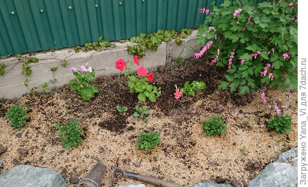 Высадила на клумбу с осенними хризантемами