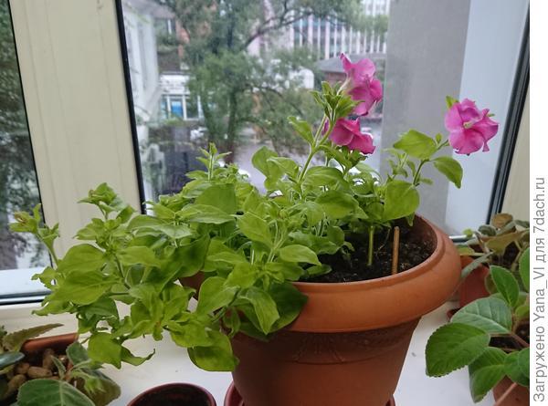 Цветение на окне